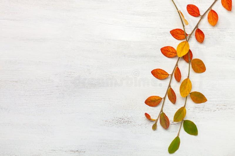 与五颜六色的秋叶的两个分支在白色破旧的木背景 平的位置 库存照片