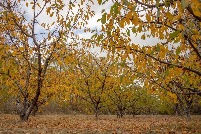 与五颜六色的秋天叶子的果树在庭院里 与下落的干燥叶子的干草 免版税库存照片
