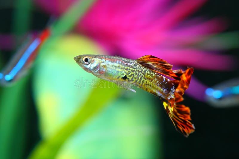 与五颜六色的背景Poecilia reticulata的色彩艳丽的胎生小鱼鱼 免版税库存图片