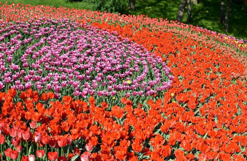 与五颜六色的郁金香的春天领域 库存图片