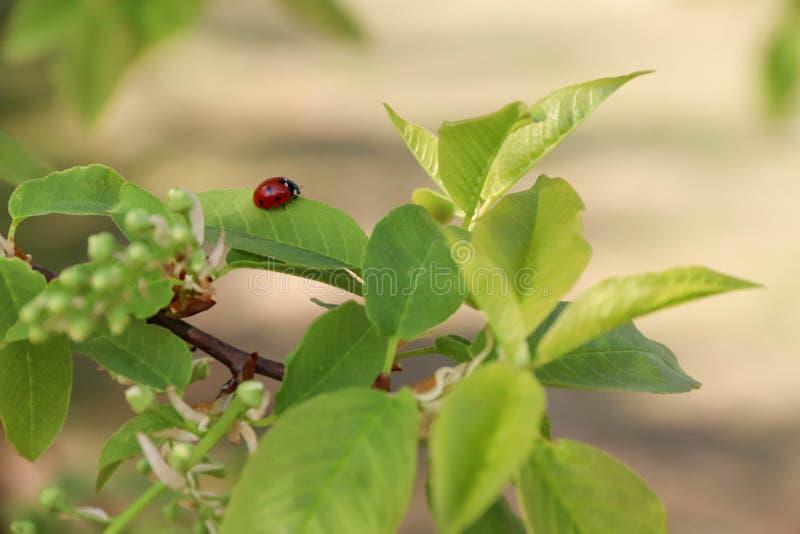 与交通事故多发地段的一只小红色甲虫在分支 免版税库存图片