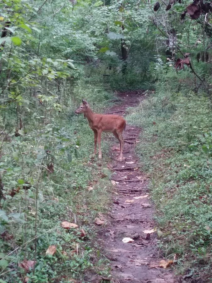 与人的求知欲的镇静小鹿 库存图片