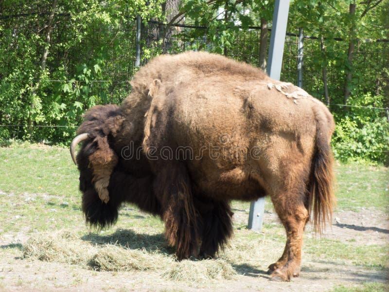 与他的北美野牛回到照相机 免版税库存图片