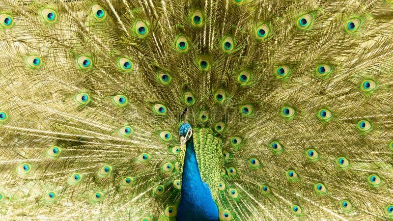 与他的庄严羽毛轮子的典雅的孔雀 库存图片