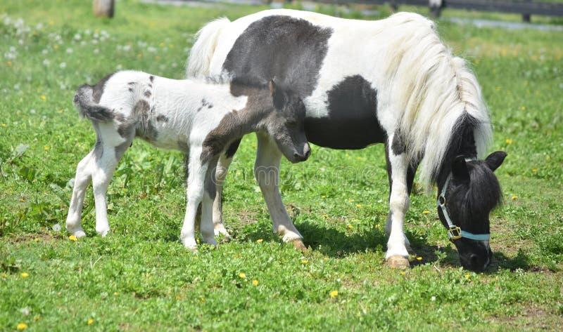 与他的母亲的甜驹一片草地的在春天 免版税库存照片
