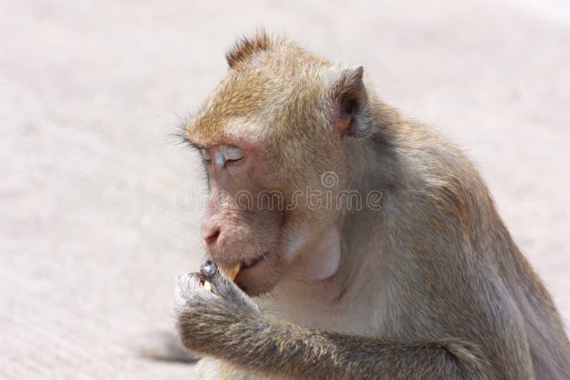 与他自己的活动的猴子 库存图片