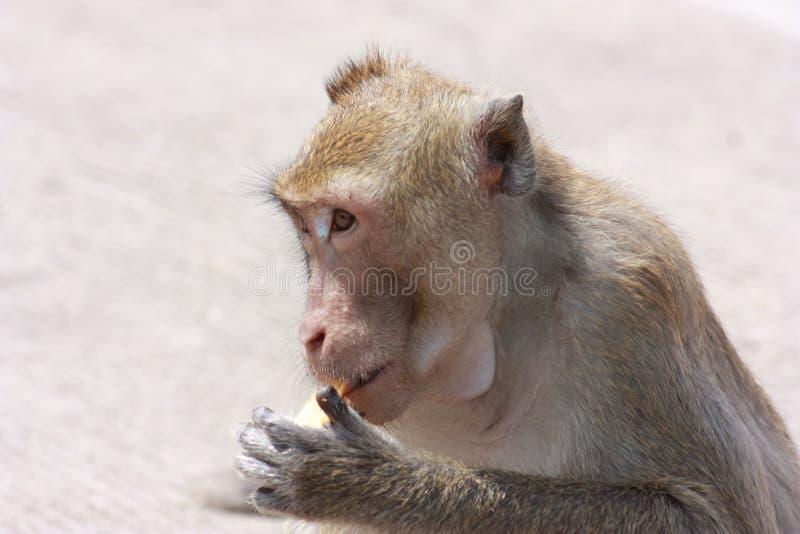 与他自己的活动的猴子 免版税库存图片