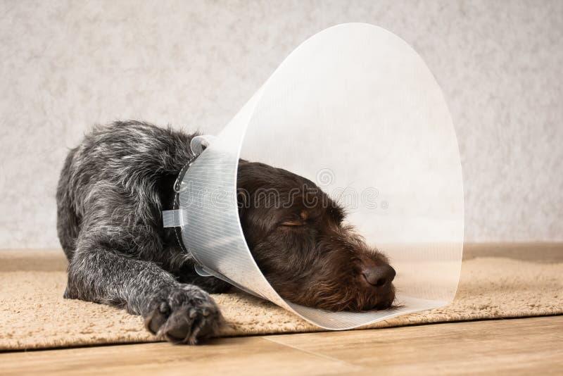与伊丽莎白女王的衣领的睡觉狗 免版税库存图片