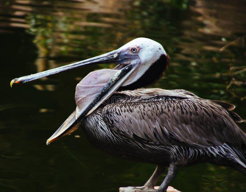 与休息在湖的被张开的大额嘴的野生美丽的鹈鹕 库存图片