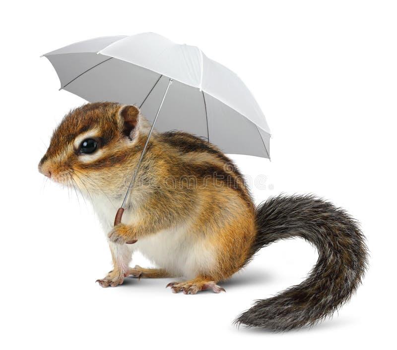 与伞的滑稽的花栗鼠在白色 图库摄影