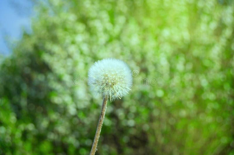 与伞种子的白色蒲公英在草背景在晴朗的夏日 库存照片