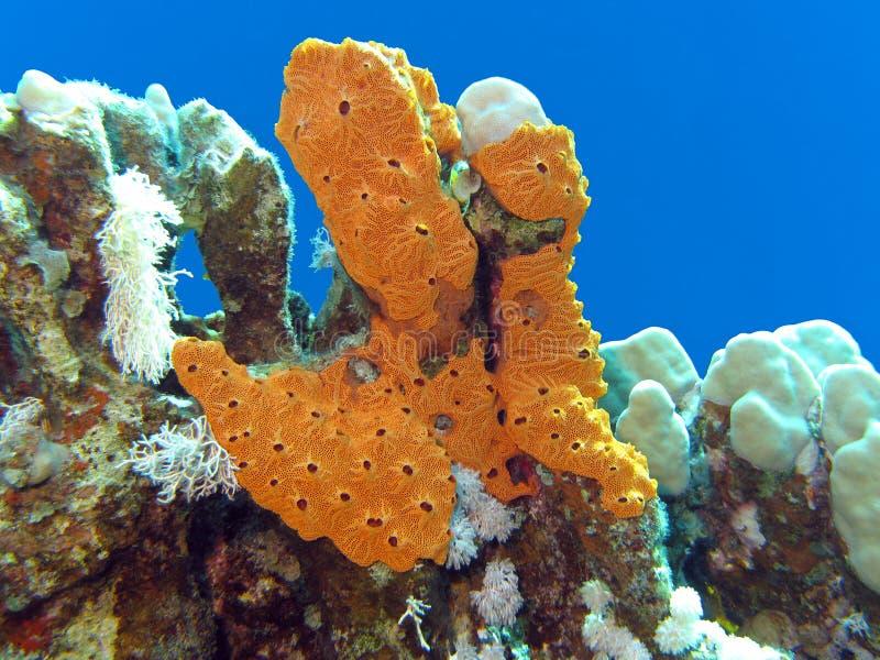 与伟大的黄海海绵的珊瑚礁在热带海底部  免版税图库摄影