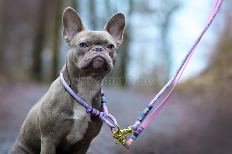 与佩带一条自制被编织的衣领和鞭子在模糊的森林b前面的淡琥珀色的眼睛的淡紫色烟草花叶病的母法国牛头犬狗 免版税库存照片