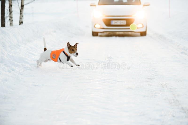 与佩带反射性背心奔跑的狗的公路安全概念在溜滑车行道在汽车前面的球以后 免版税库存照片
