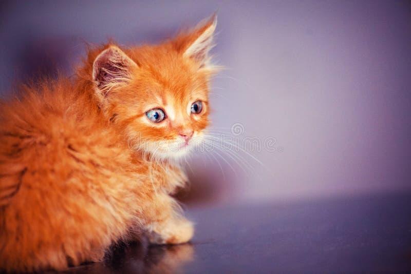 与使蓝眼睛惊奇的逗人喜爱的矮小的红色小猫 美丽的画象 动物界 库存照片