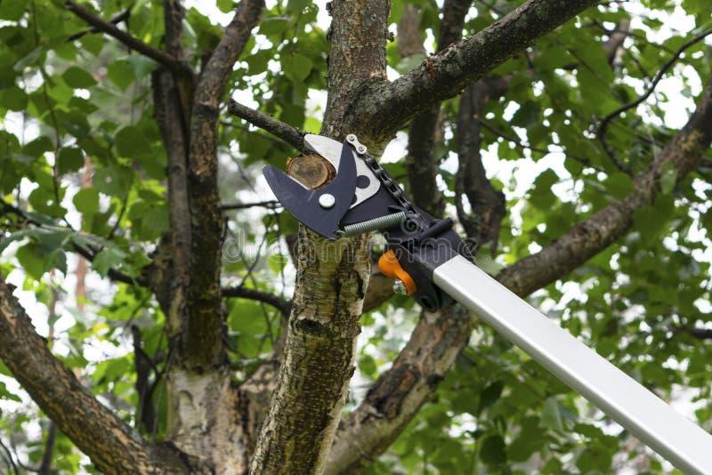 与修枝剪的季节性修剪的树 与修枝剪的花匠修剪的果树 照料庭院 砍树 库存图片