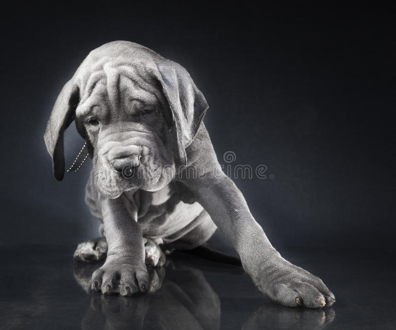 与倾斜的纯血统小狗 免版税库存照片