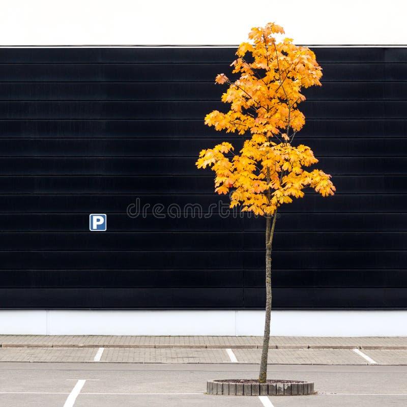 与偏僻的年轻槭树的空的停车场在秋天 库存照片