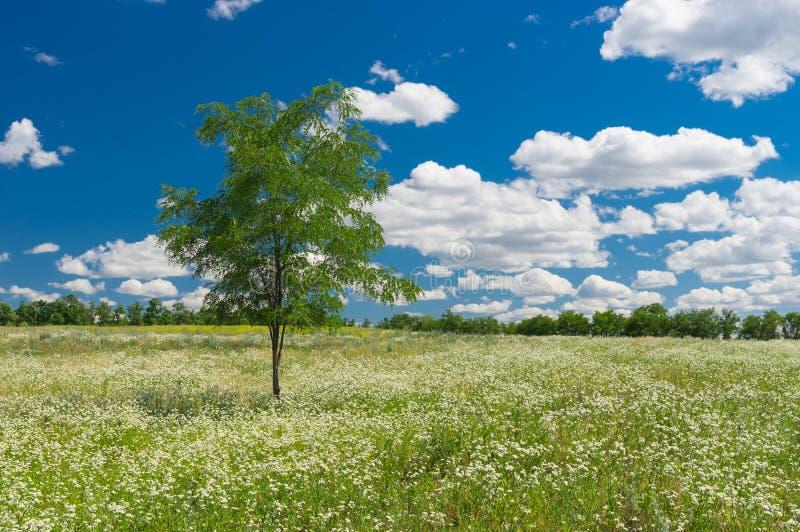 与偏僻的金合欢树的夏天风景 库存照片