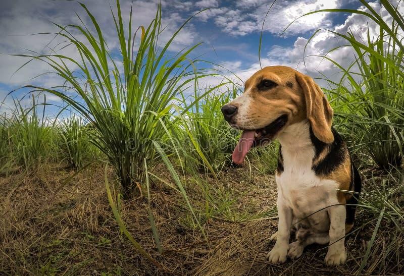 与停留在坐姿的桃红色舌头的可爱和逗人喜爱的小猎犬狗 免版税库存图片