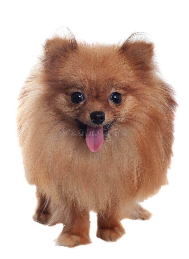 与停留特写镜头的舌头的Pomeranian波美丝毛狗 在白色背景, 免版税图库摄影