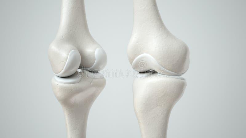 与健康软骨,前面和后面的3D翻译的膝盖关节 皇族释放例证