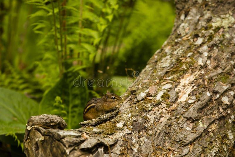 与充分的面颊的东部花栗鼠在森林里 库存图片