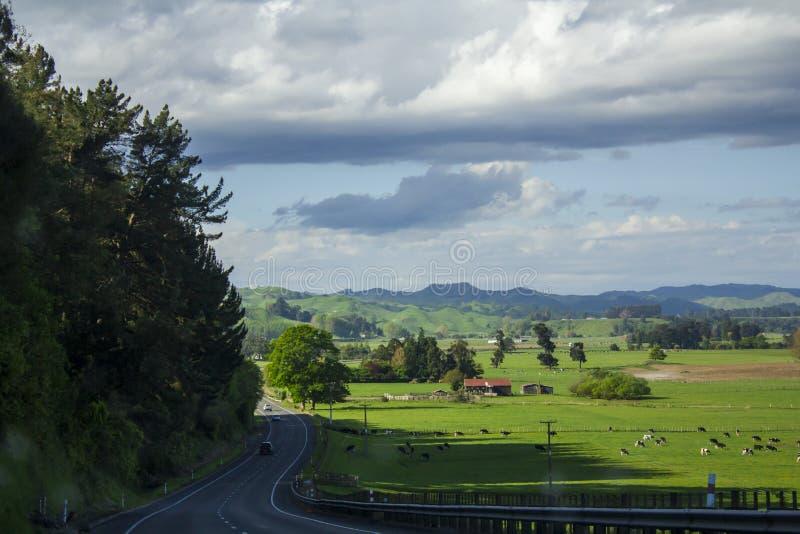 与充满活力的绿色吃草草甸和的母牛的惊人的风景 免版税库存图片