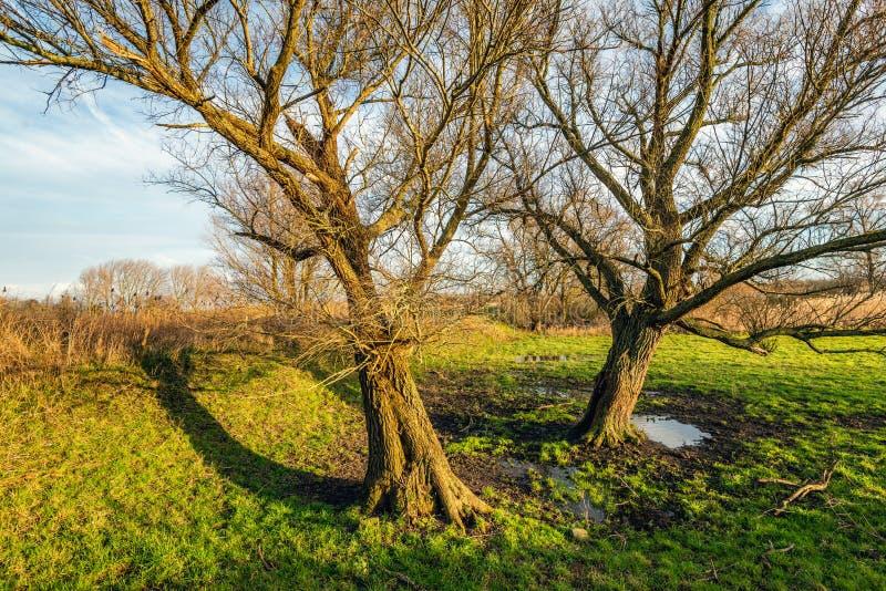 与光秃的分支的两棵倾斜的树根据落日 免版税库存照片