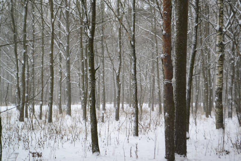 与光秃的树的冬天风景在一个多雪的森林里 库存图片