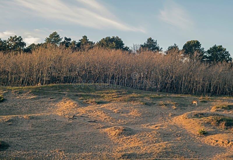 与光秃的树行的沙丘在秋天 免版税图库摄影