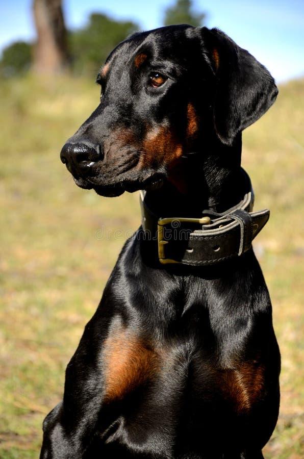 与克制的衣领的短毛猎犬 免版税图库摄影