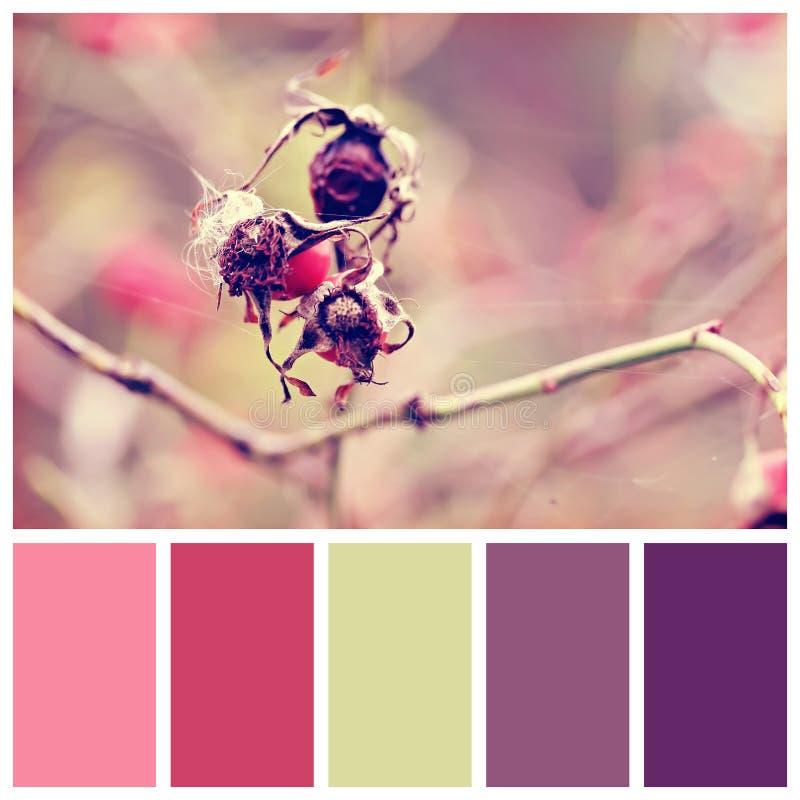 与免费颜色样片的狗玫瑰色莓果 免版税库存照片