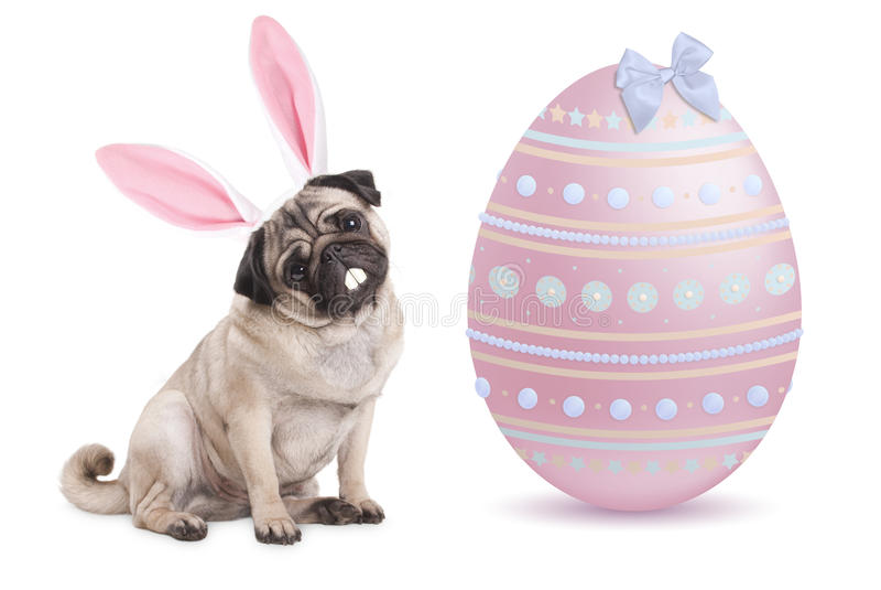 与兔宝宝耳朵王冠的滑稽的逗人喜爱的哈巴狗小狗在大粉红彩笔复活节彩蛋旁边,被隔绝坐白色背景 图库摄影