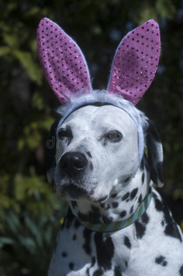 与兔宝宝耳朵的达尔马提亚狗 免版税库存图片