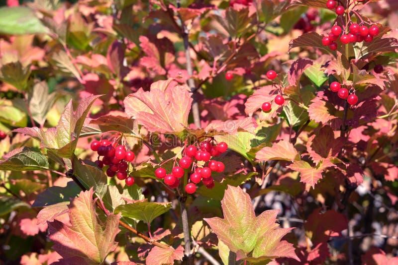 与全部的密集的荚莲属的植物灌木垂悬成熟红色莓果和绿色叶子在秋天好日子特写镜头 免版税库存图片