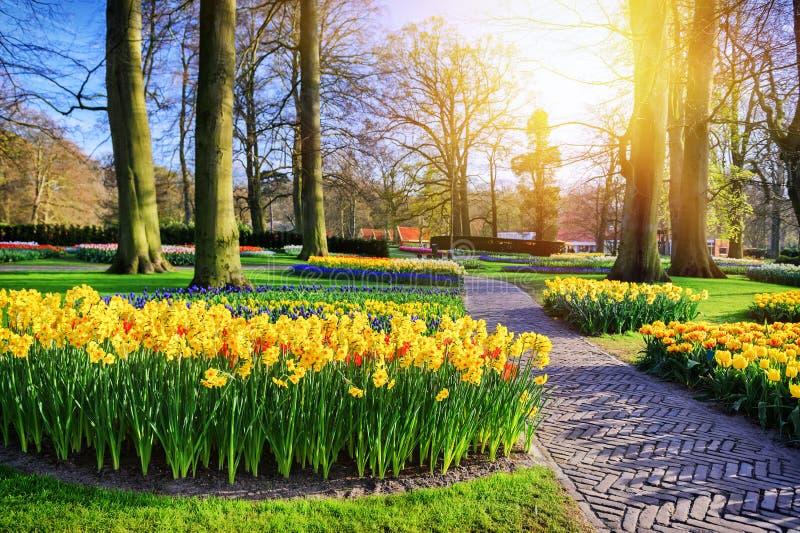 与公园胡同和黄色黄水仙的春天风景 库存图片