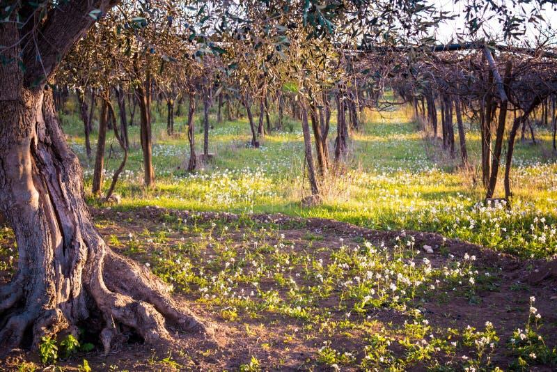 与关闭的意大利秋季Landcape橄榄树和A 免版税库存图片