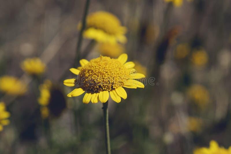 与其他植物的黄色雏菊 在地面上的黄色雏菊 图库摄影