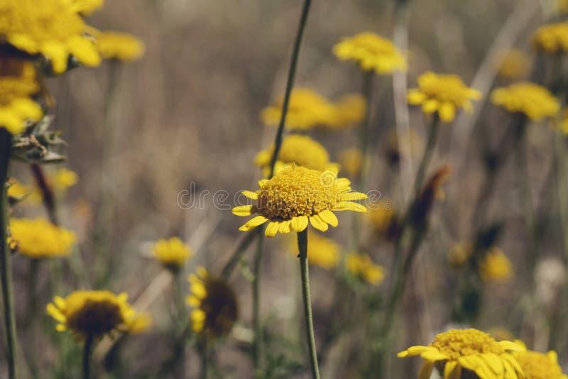 与其他植物的黄色雏菊 在地面上的黄色雏菊 免版税库存照片