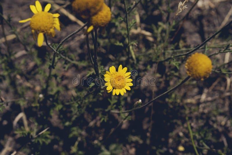 与其他植物的黄色雏菊 在地面上的黄色雏菊 库存图片