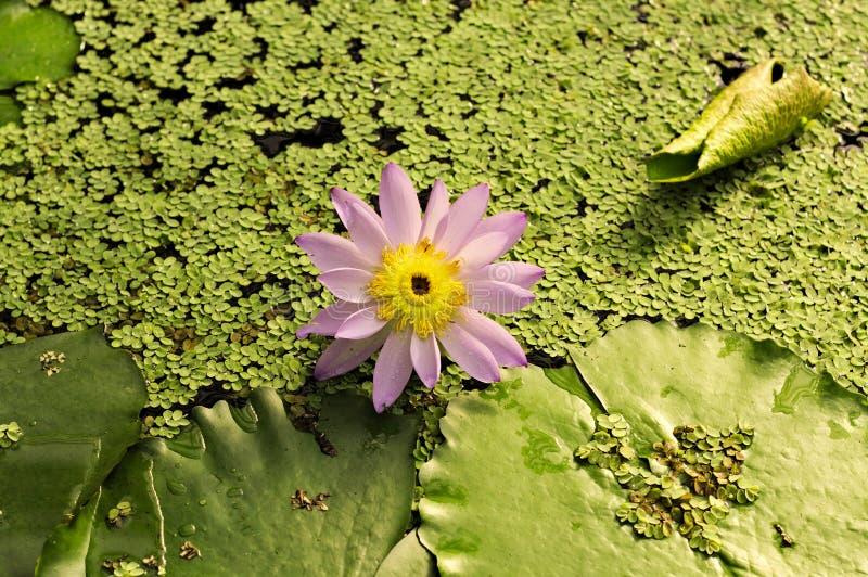 与其他水生植物的waterlily桃红色花 免版税库存图片