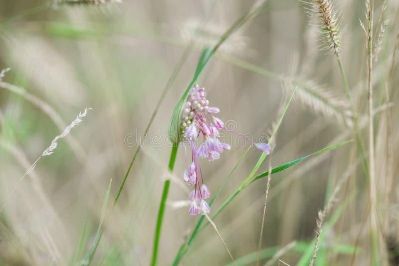 与典雅的垂悬的芽的精美淡紫色花 狂放的草本和花 免版税库存图片