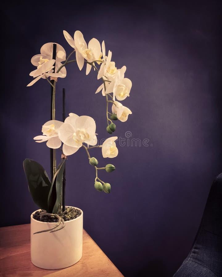 与典雅的白色兰花的黑暗的内部 图库摄影