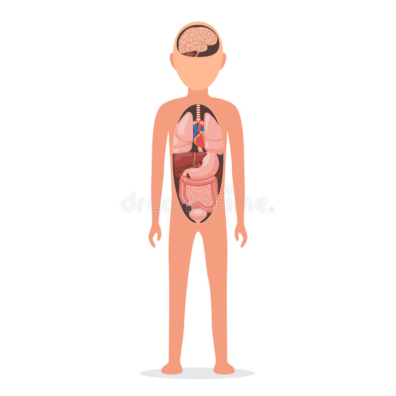 与内脏的人体 向量例证