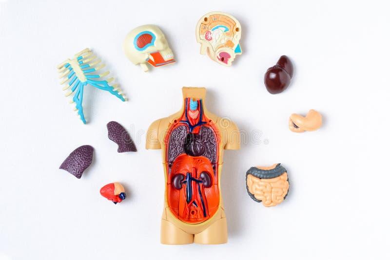 与内脏的塑料人钝汉在白色背景 人体的教的模型 库存照片