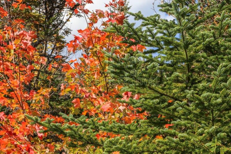 与冷杉木的精采秋天槭树 免版税库存图片