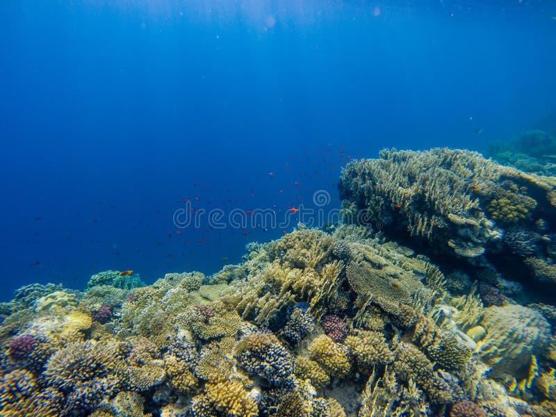 与净火珊瑚的热带Anthias鱼在下红海礁石 库存图片