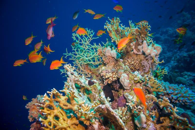 与净火珊瑚的热带Anthias鱼 图库摄影