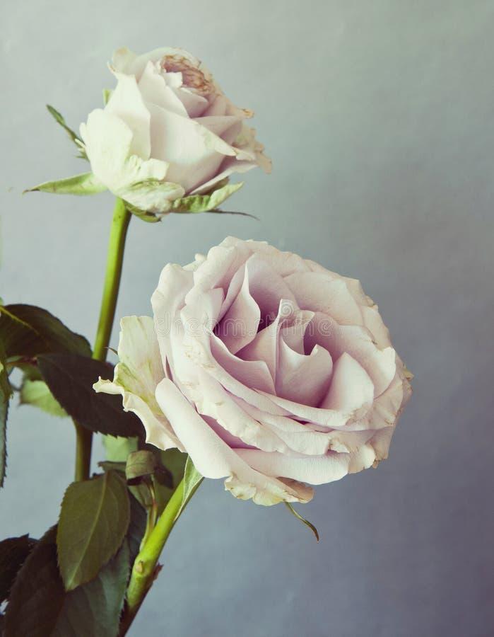 与减速火箭的作用的两朵桃红色玫瑰 图库摄影